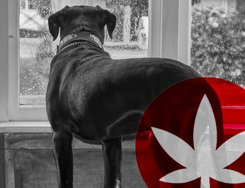 How CBD Eases Anxiety And Stress In Dogs And Cats